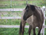 Quarter Horse Type Photo by RedCobalt