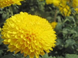 Big Yellow Flower by parka