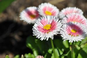 Pink and white flowers by xim0nfir3x