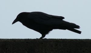 Crow Silhouette 240 by Eolhin