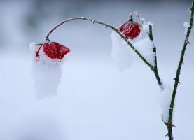 Frozen rose by mv79