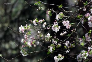 Branches of Cherry Blossoms by jot-woo