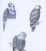 Hawk Drawings by InfernoTornado
