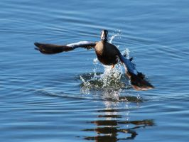 Blue-winged Teal Takes Flight by Folkeye