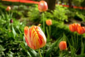 Red and Yellow Tulips. by NevermoreTheRaven