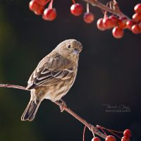 .:Backyard Finch:. by RHCheng