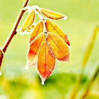 Frosty leaves by lipstickmisfit