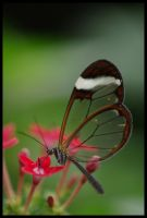Glass Wings III by Caelitha