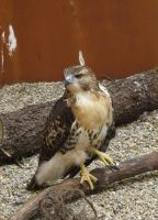 Eragon the Red-Tailed Hawk 2a by Windthin