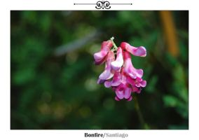 Flower of Catedral by Bonfire22