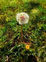 Lonely Dandelion by Izzie-Hill