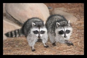 Racoons by Loiissipoff
