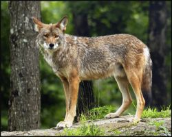 1 coyote by RichardRobert