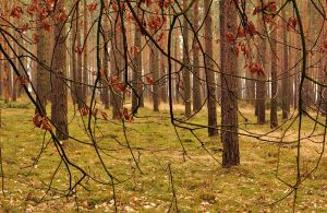 Pine Forest by alban-expressed