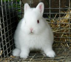 REW Netherland Dwarf Kit by GhostRabbitry