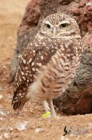 Burrowing Owl by EdgedFeather
