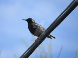 European Starling by iistandalone
