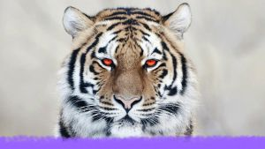 tiger close up-HD by X0xanthefaith0X