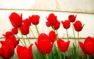 Tulips Wallpaper by colleenchiquita