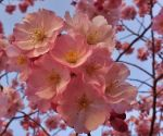 Cherry Blossoms At Arnold by Matthew-Beziat