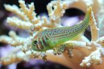 Coral Goby by FlorianHebel