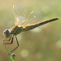 Dragonfly by buzadam