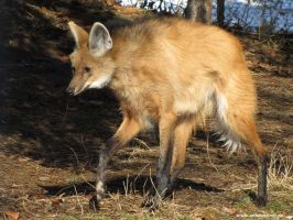 Maned Wolf by ankewehner