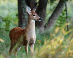 Birthday Fawn update 2 by natureguy