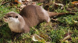 Smilin' Otter by Rabid-Coot