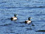Green Heads by JeremyC-Photography