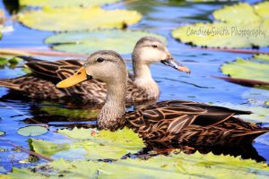 Mallard Pair by CandiceSmithPhoto
