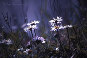 March Daisies by K-Boyd-Photography