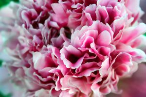 Cotton Candy Peony by mskrissi87