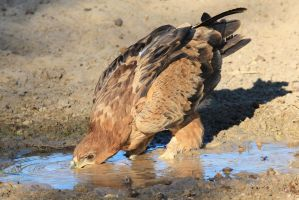 Tawny Eagle - African Wildlife - Water is Life by LivingWild