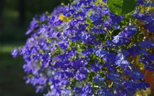 Lobelia - electric blue by miss-gardener