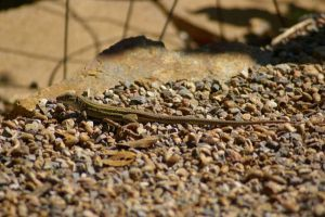Whiptail Lizard 3 by PatGoltz