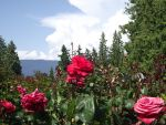 Roses, sunshine, oh my! by Despina897