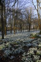 Snowdrop wood by sandyprints