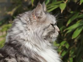 Silver Grey coon 2 by pagan-live-style