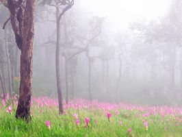 siam tulip by ong2b