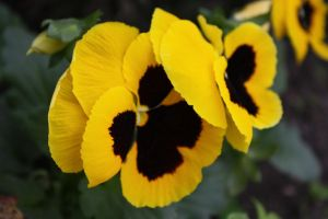Pansies by MickeyMouse-ACE