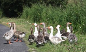 Geese on the road by oxalysa