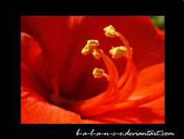 Red flower by B-a-l-a-n-c-e