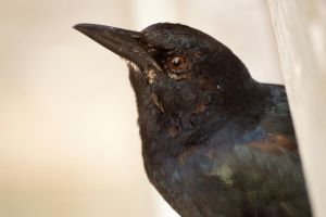 Patchwork Grackle by Fail-Avenger