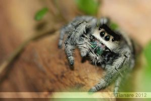 regal jumping spider - 0870 by Tianare