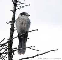 Gray Jay by Dani-Lefrancois