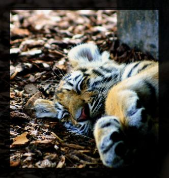sleeping tiger by miezbiez