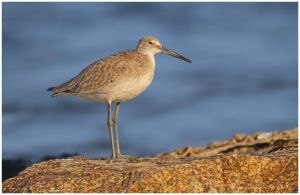 Western Willet by Ryser915