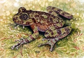 Table Mountain Ghost Frog by WillemSvdMerwe