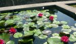 Water Lily 3 by Alienesse-Stock